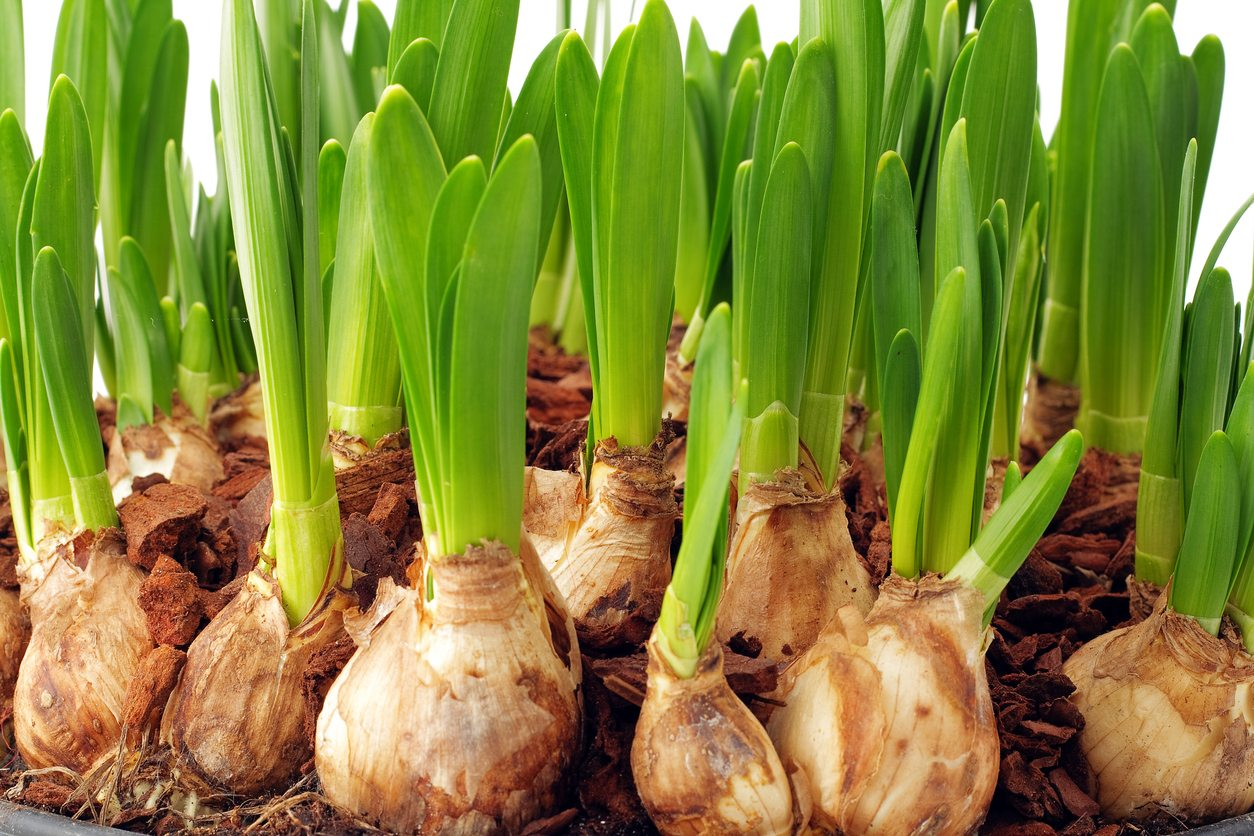 What Bulbs Grow In Zone 8: Learn About Common Zone 8 Bulb Varieties