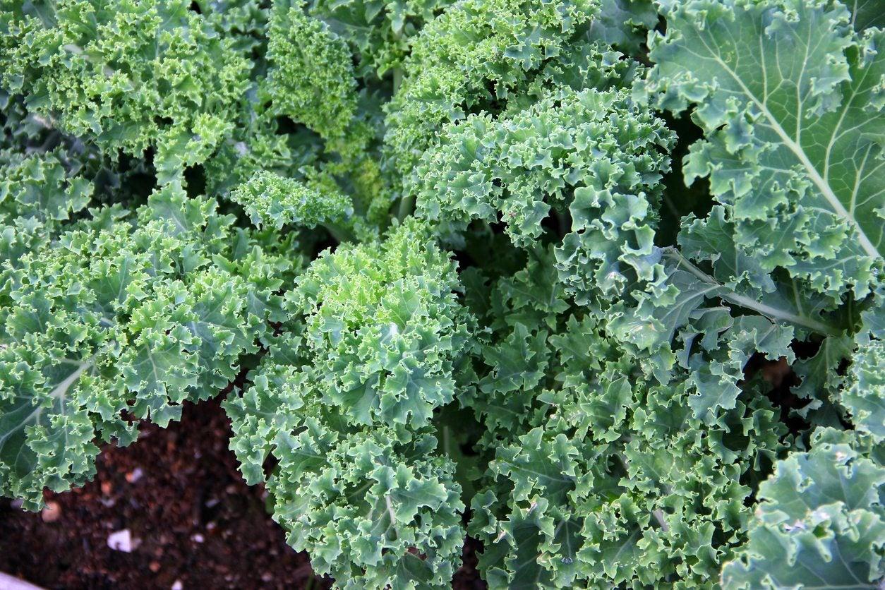 Zone 8 Kale Varieties How To Grow