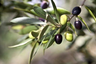 Zone 8 Olive Trees Can Olives Grow In Gardens