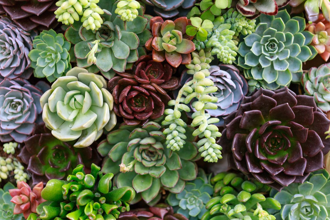 Growing Succulents In Zone 8 Choosing Succulents Hardy To Zone 8