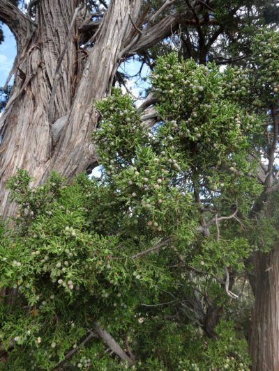 Atlantic white cedar info how to grow