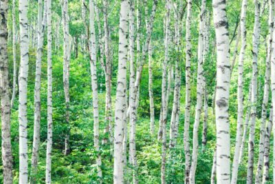 How Old Do Birch Trees Get Average Lifespan Of A Birch Tree
