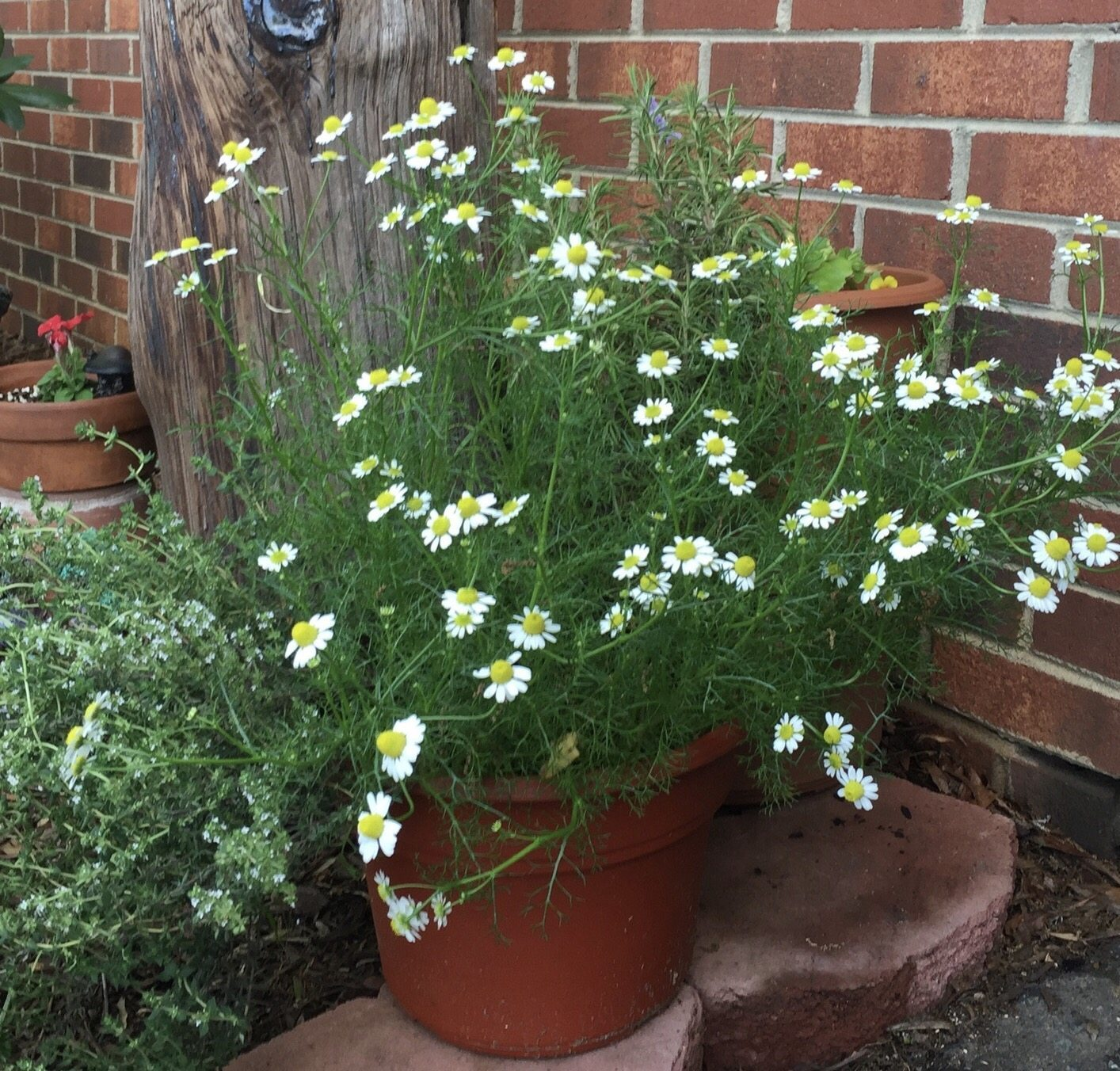 The 45-Second Trick For How To Sow Chamomile Seeds