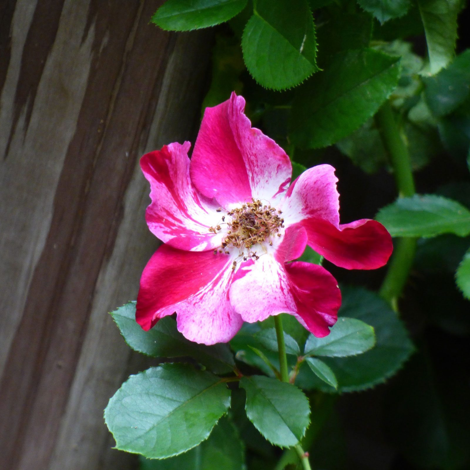 Climbing Roses For Zone 8 Tips On Growing Climbing Roses In Zone 8