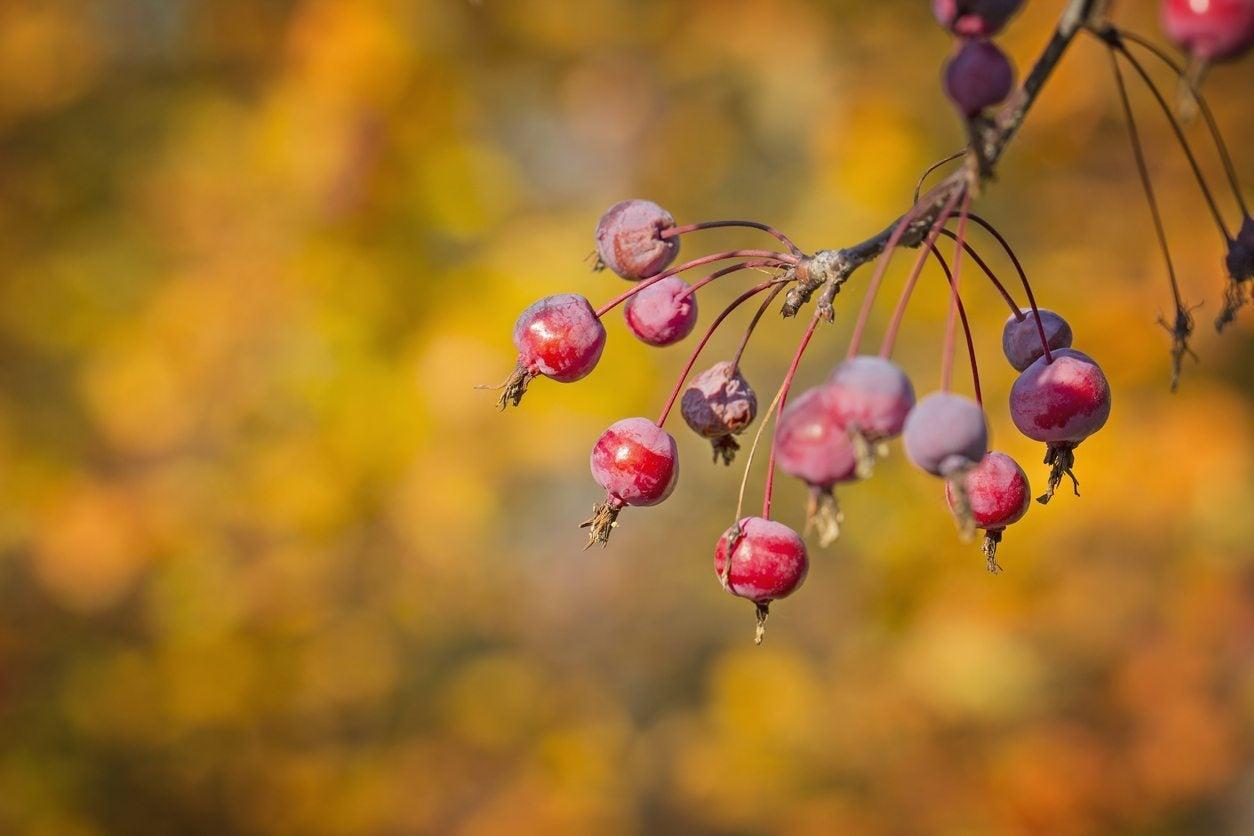 Crabapple Fruit Information When Do Crabapples Fruit