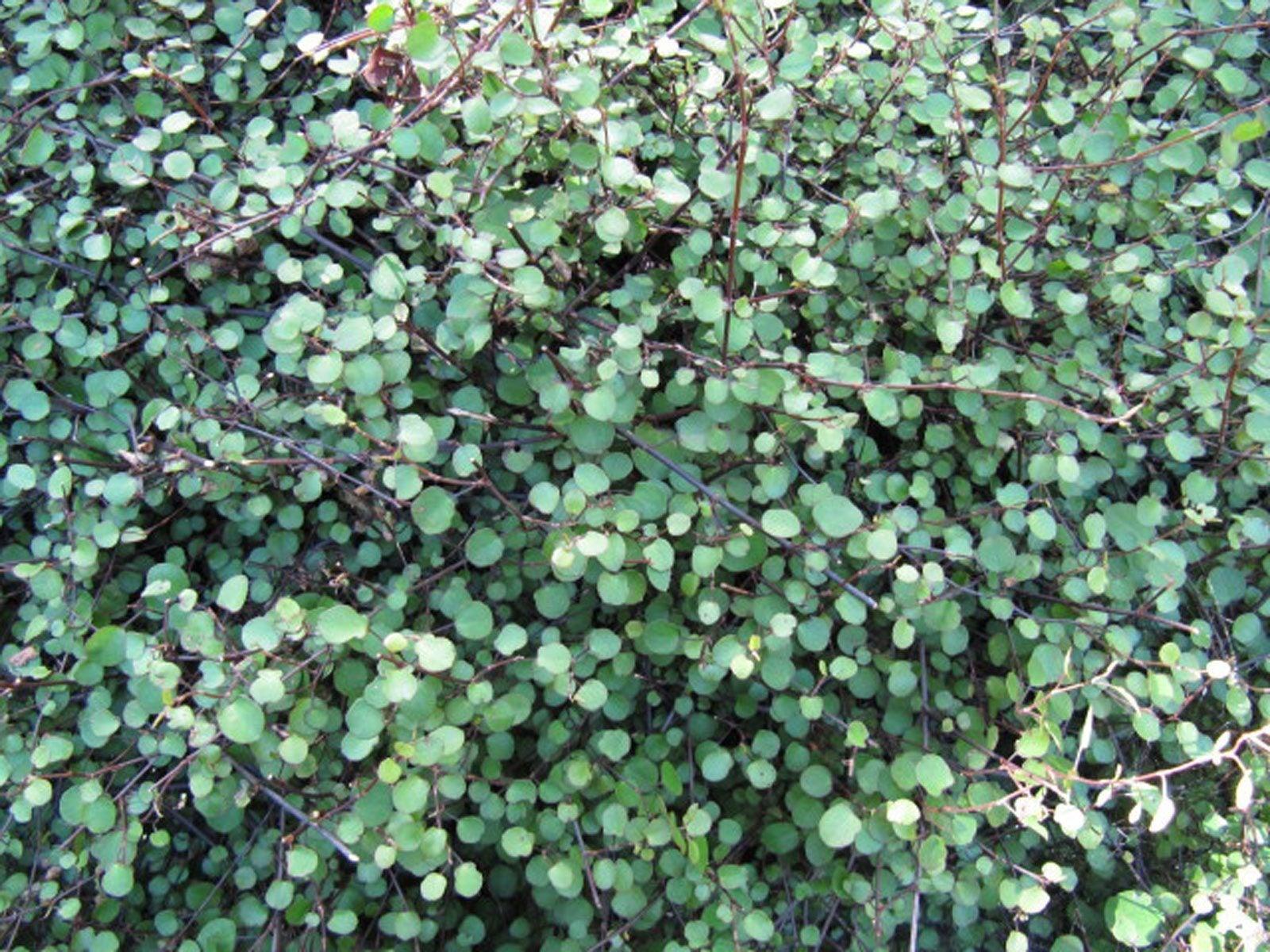 creeping-wire-vine Crawling Houseplants on