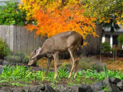 Deer Proof Gardening: What Vegetables Are Deer Resistant