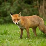 AnimalsPredator Urine In Gardens: ...