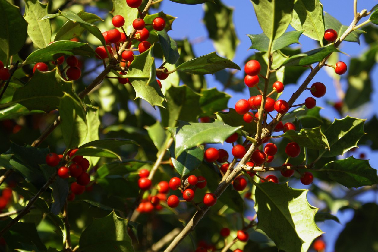 When Does Holly Fruit Holly Fruiting And Flowering Times