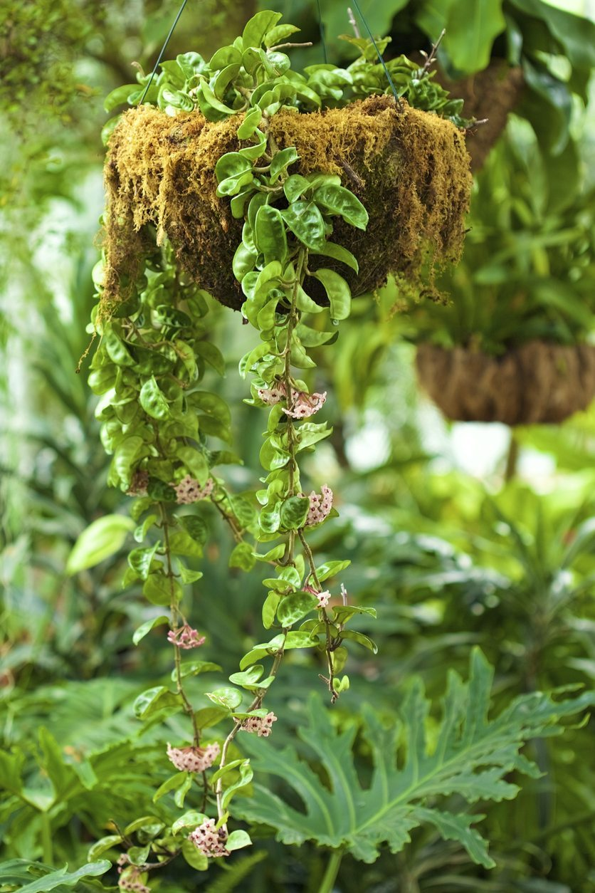Fertilizing A Wax Plant How And When To Feed A Hoya Plant