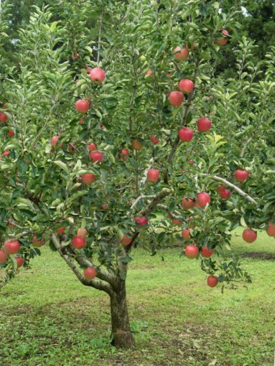 Zone 5 Fruit Trees Guide To Growing Fruit Trees In Zone 5 Gardens