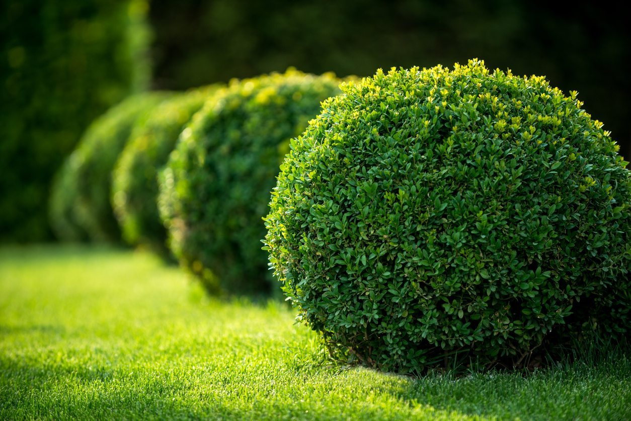 zone 8 evergreen shrub varieties selecting zone 8. Black Bedroom Furniture Sets. Home Design Ideas