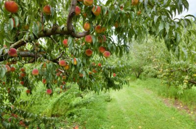 Fruit Trees For Zone 8 What Grow In