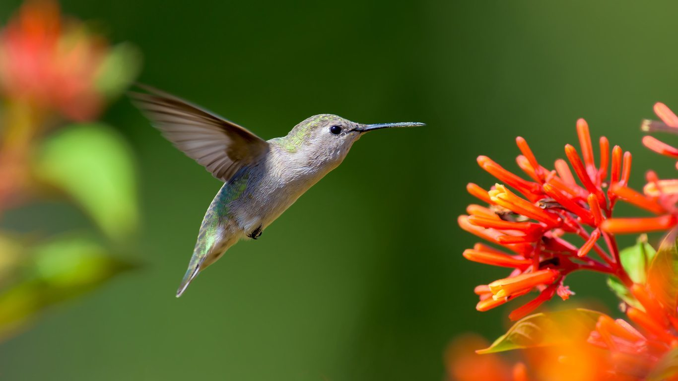 Zone 9 Hummingbird Plants How To Attract Hummingbirds In Zone 9 Gardens