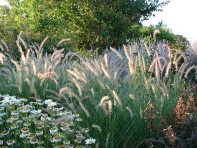 Zone 8 Ornamental Grass Varieties Choosing Ornamental Grass For Zone 8