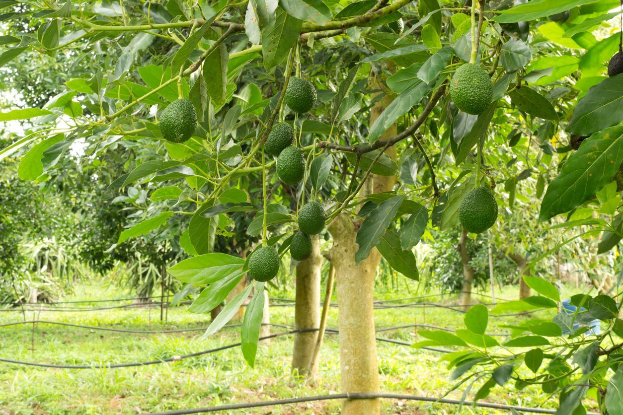 Learn About Avocado Trees For Zone 9