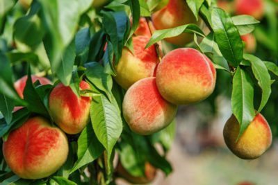 Fruit Trees For Zone 9 Gardens Growing In