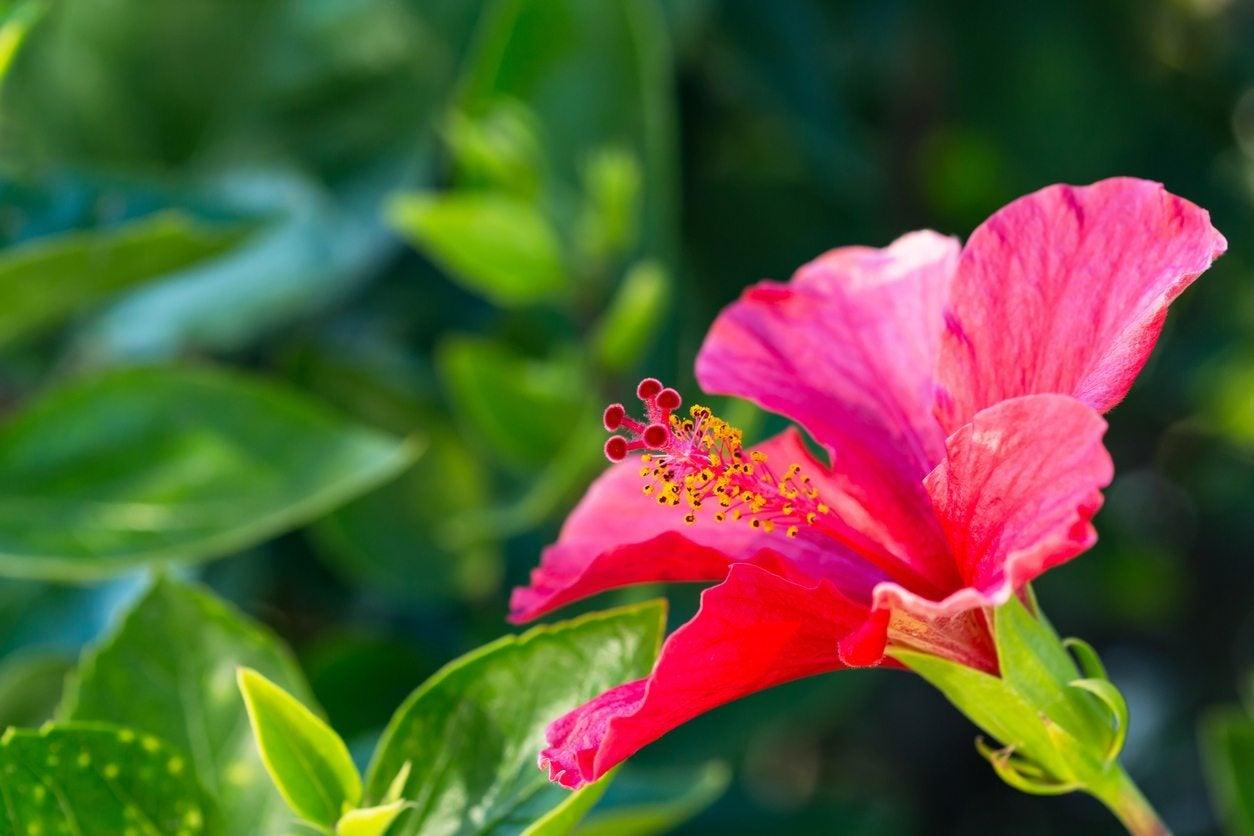 Hibiscus growing in zone 9 choosing hibiscus plants for zone 9 gardens izmirmasajfo