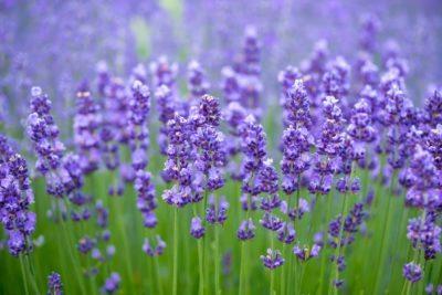 Growing Lavender In Zone 9 Best Varieties For