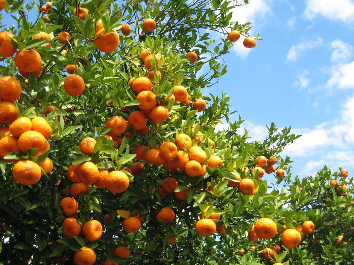 Citrus are Best Fruit Trees for Los Angeles - The Smarter