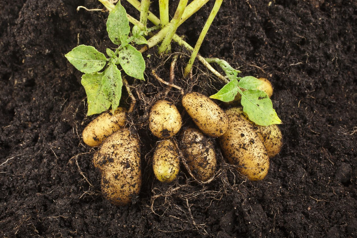 Potatoes For Zone 9 - How To Care For Zone 9 Potatoes In The Garden
