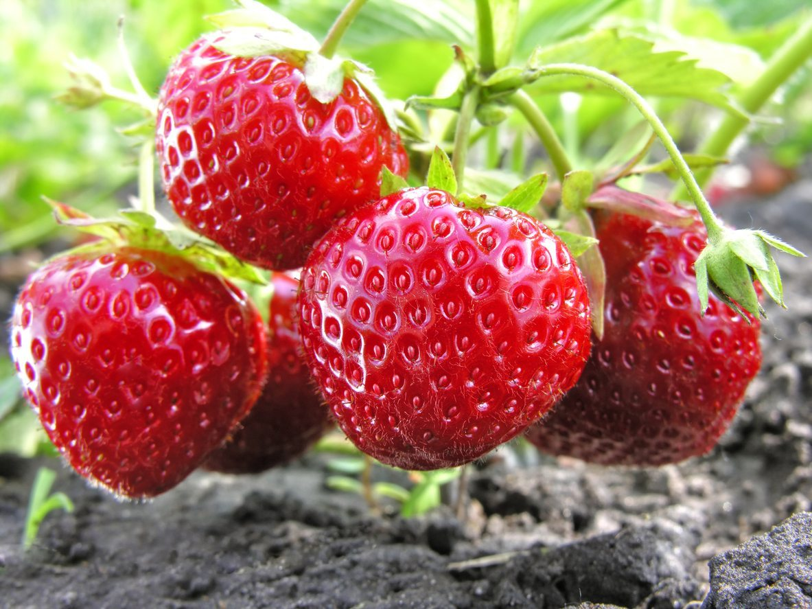 Tips On Growing Strawberries In Zone 9
