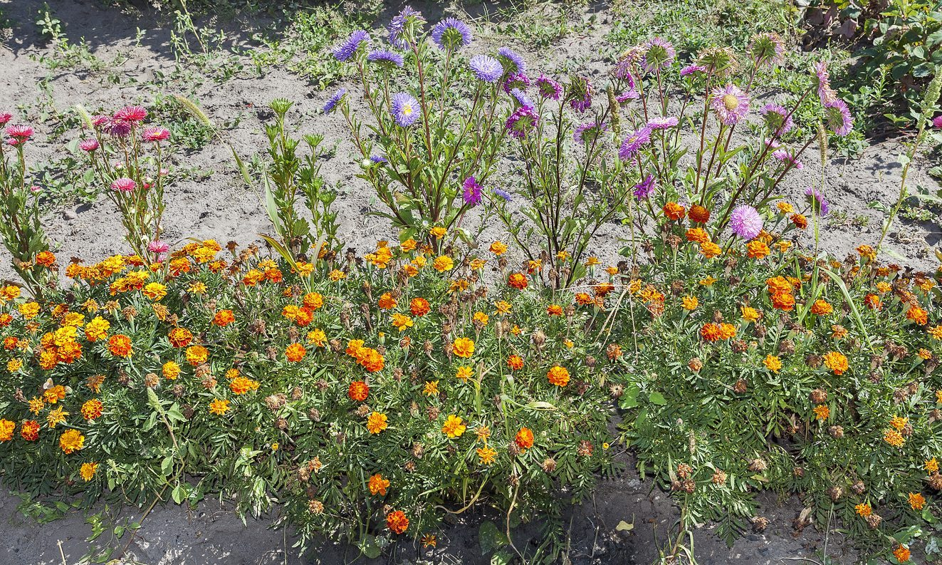 Good Aster Plant Neighbors Selecting Plants To Grow With Asters In