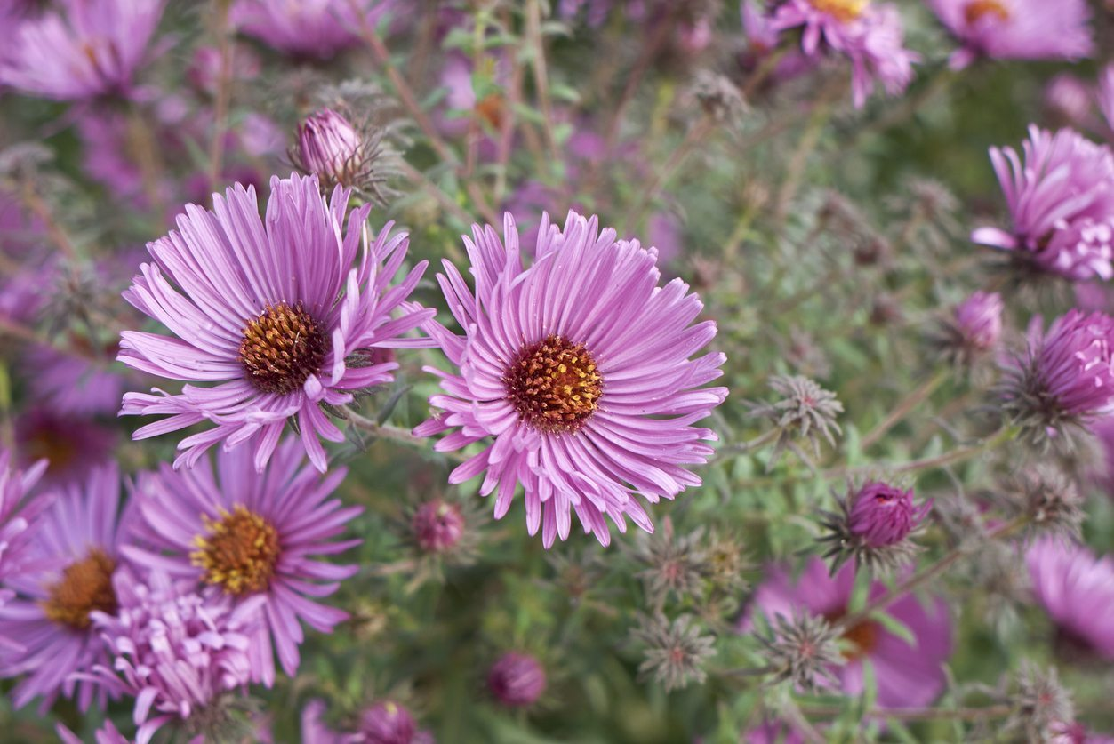 Varieties Of Aster How Many Kinds Of Aster Are There