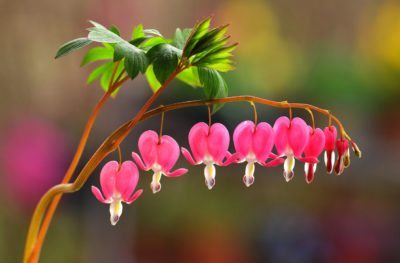 Bleeding Heart Articles Gardening Know How