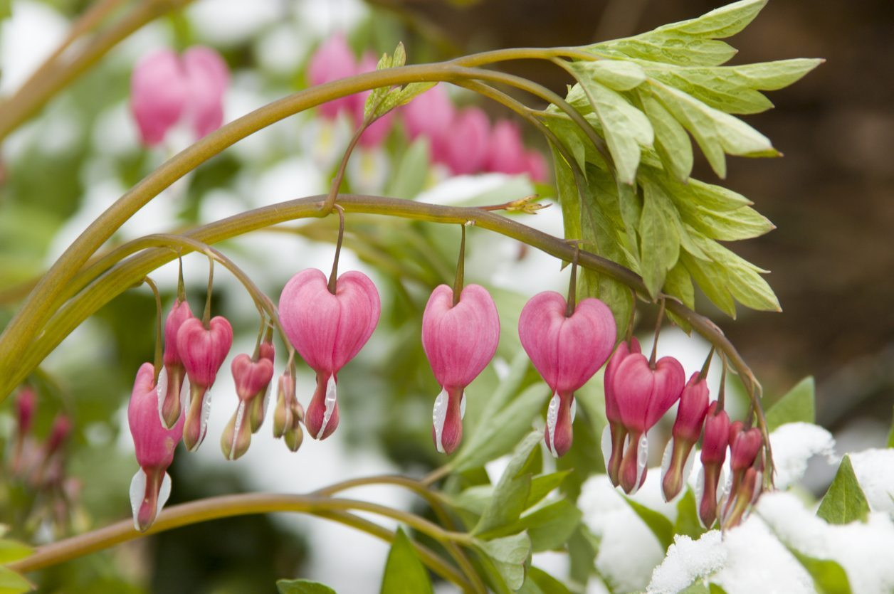 Bleeding Heart Winter Care How To Protect A Bleeding Heart During