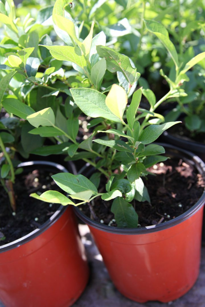 How To Start A Blueberry Bush Growing Blueberries From