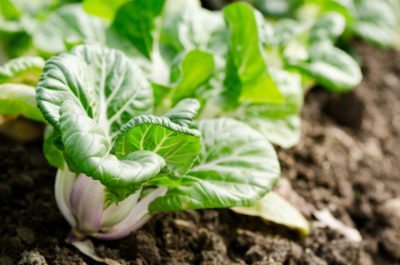 Managing Bok Choy Problems Learn About Bok Choy Pests And Other Issues