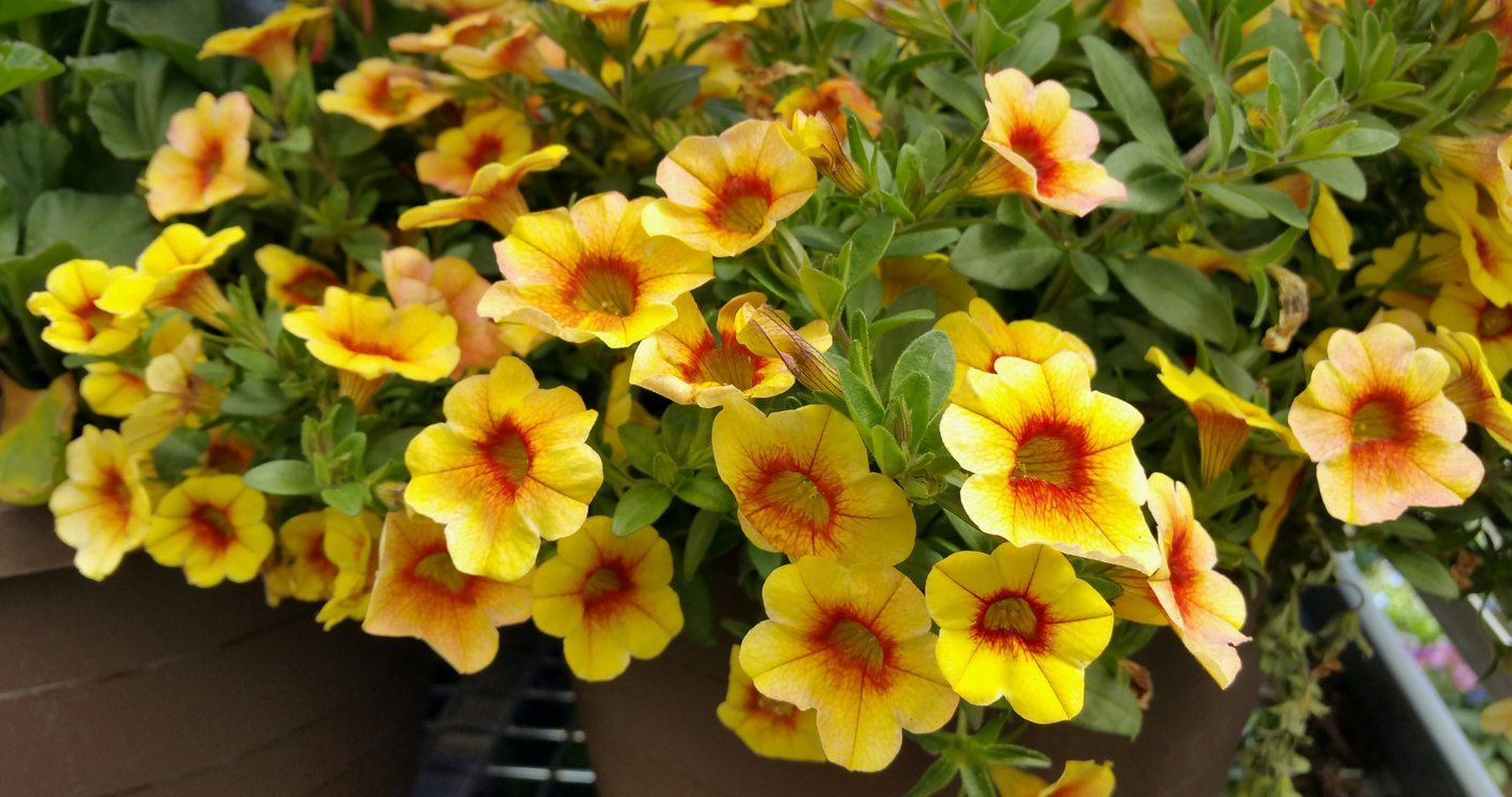 Overwintering Million Bells Can You Keep Calibrachoa Plants Over