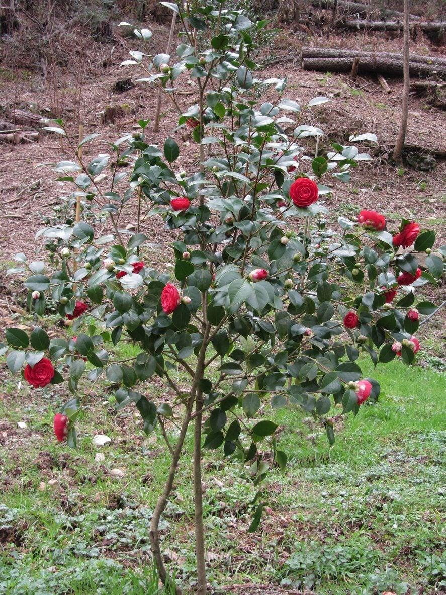Garden Bush: When To Move A Camellia Bush