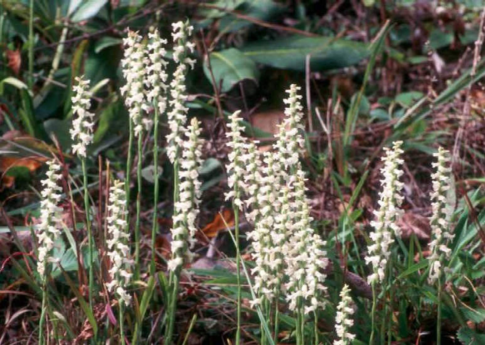 What Is Spiranthes Lady S Tresses How To Grow Nodding
