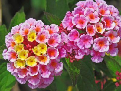 Multi colored lantana flowers reasons behind lantana flower color color changing lantana flowers why do lantana flowers change color mightylinksfo