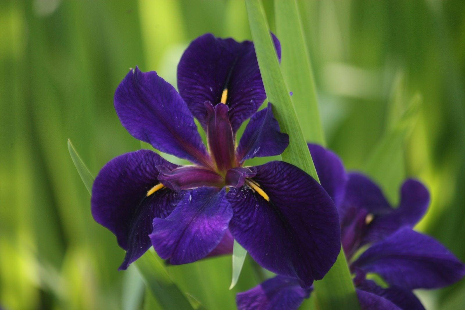 Louisiana iris information tips on growing louisiana irises in gardens izmirmasajfo