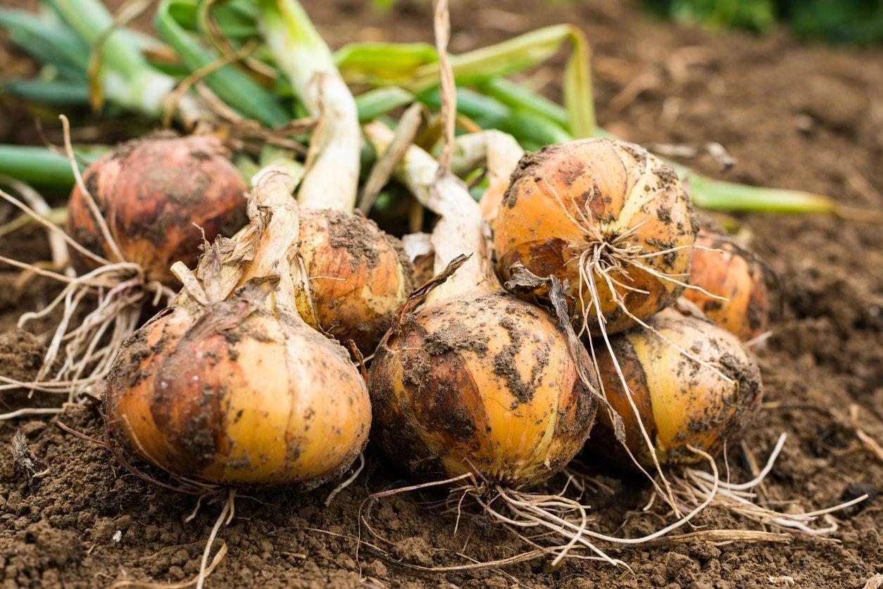 Onion Centurion: variety description, cultivation features and reviews 39