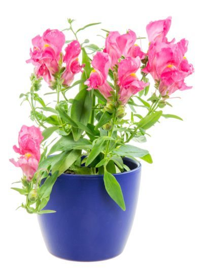 Container grown snapdragons how to grow snapdragon in a pot growing snapdragons in pots tips for snapdragon container care mightylinksfo