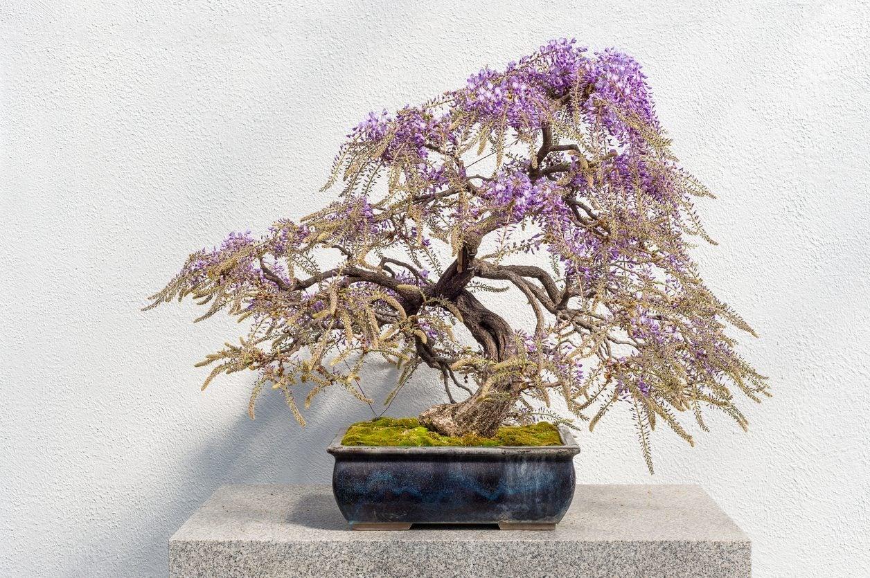 how to grow a wisteria tree