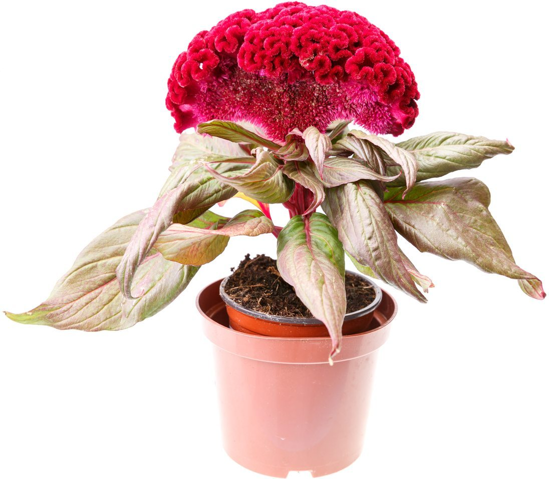 Why Are My Celosia Dying Common Celosia Problems In The Garden