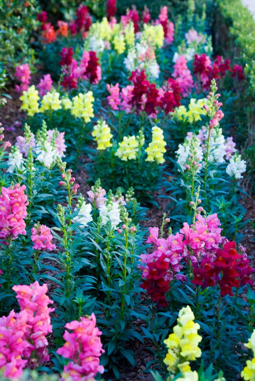 Types Of Snapdragon What Are Some Snapdragon Plant Varieties