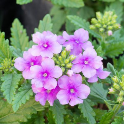 understanding verbena differences a guide to different types of verbena