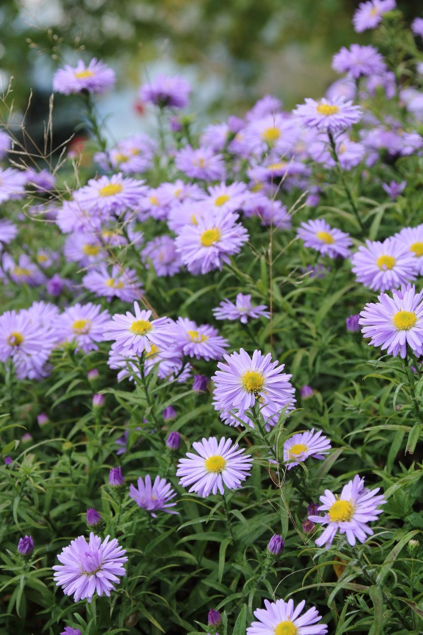 Why Wont My Asters Bloom Reasons For Asters Not Flowering