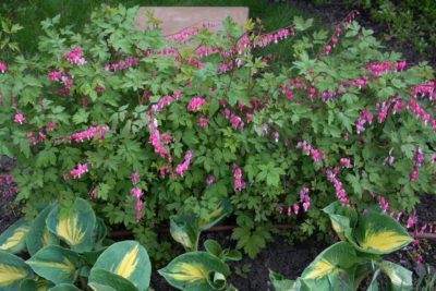 Caring For Bleeding Heart Transplants How To Transplant A Plant