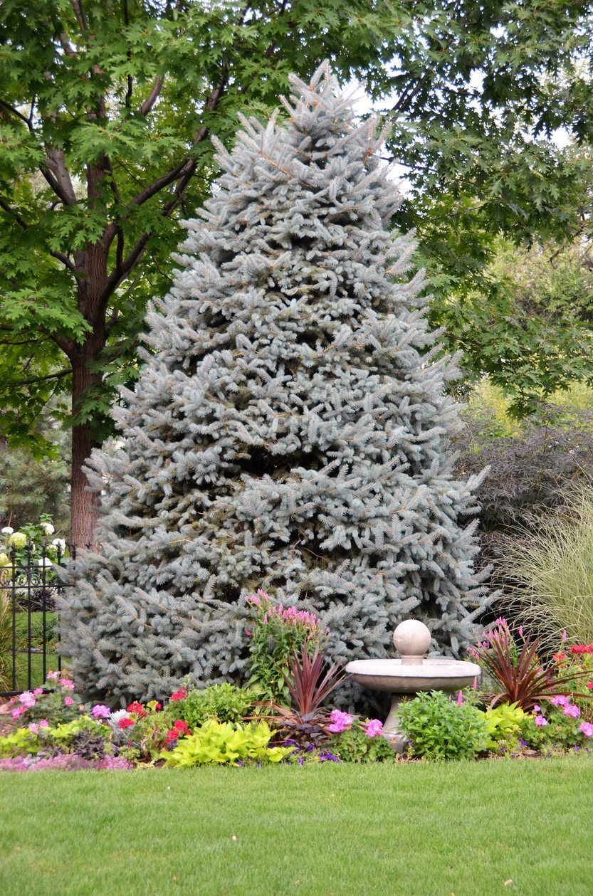 Why Blue Spruce Turns Green: Reasons For Green Needles On ...