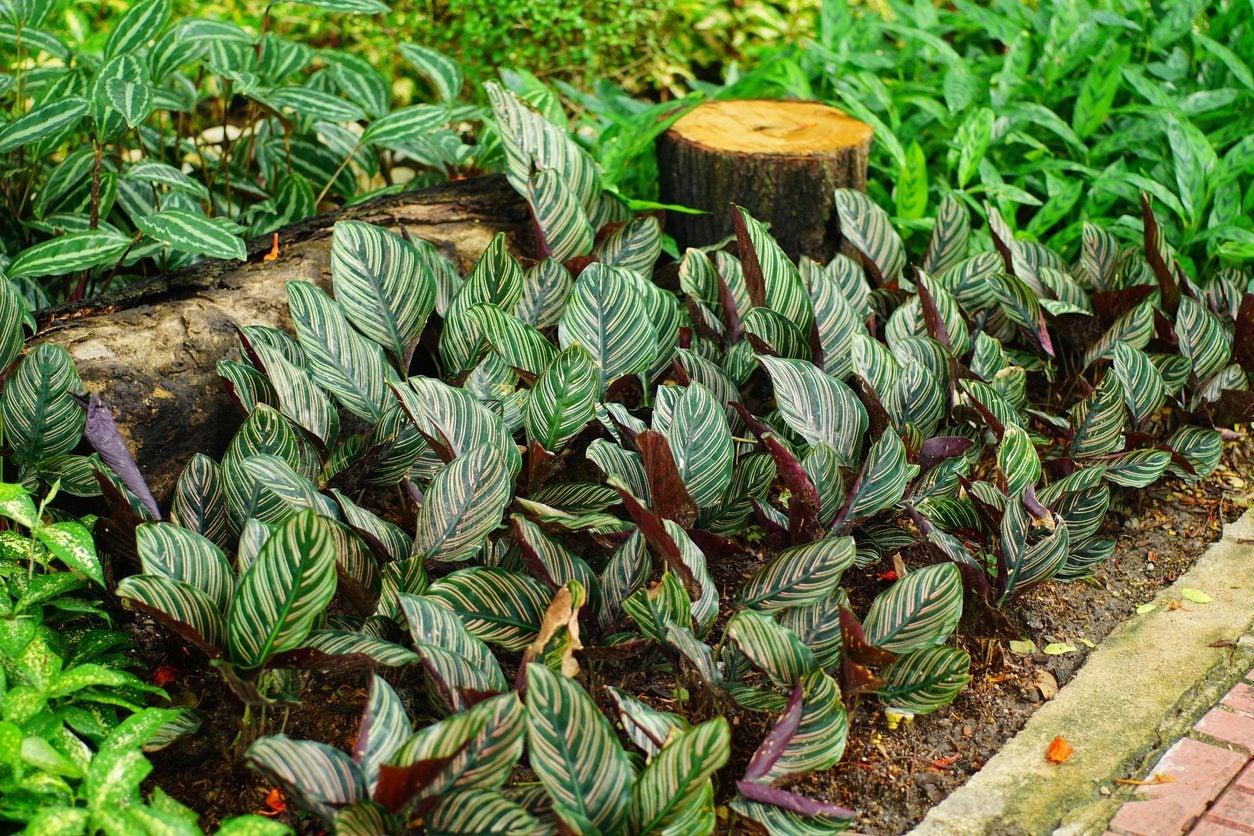 Will Calathea Grow Outdoors Learn How To Care For Calatheas In The Garden