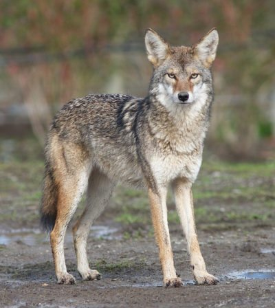 Coyote, photo by OldFulica