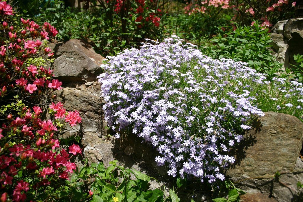 Growing Cuttings Of Creeping Phlox When To Take Cuttings From