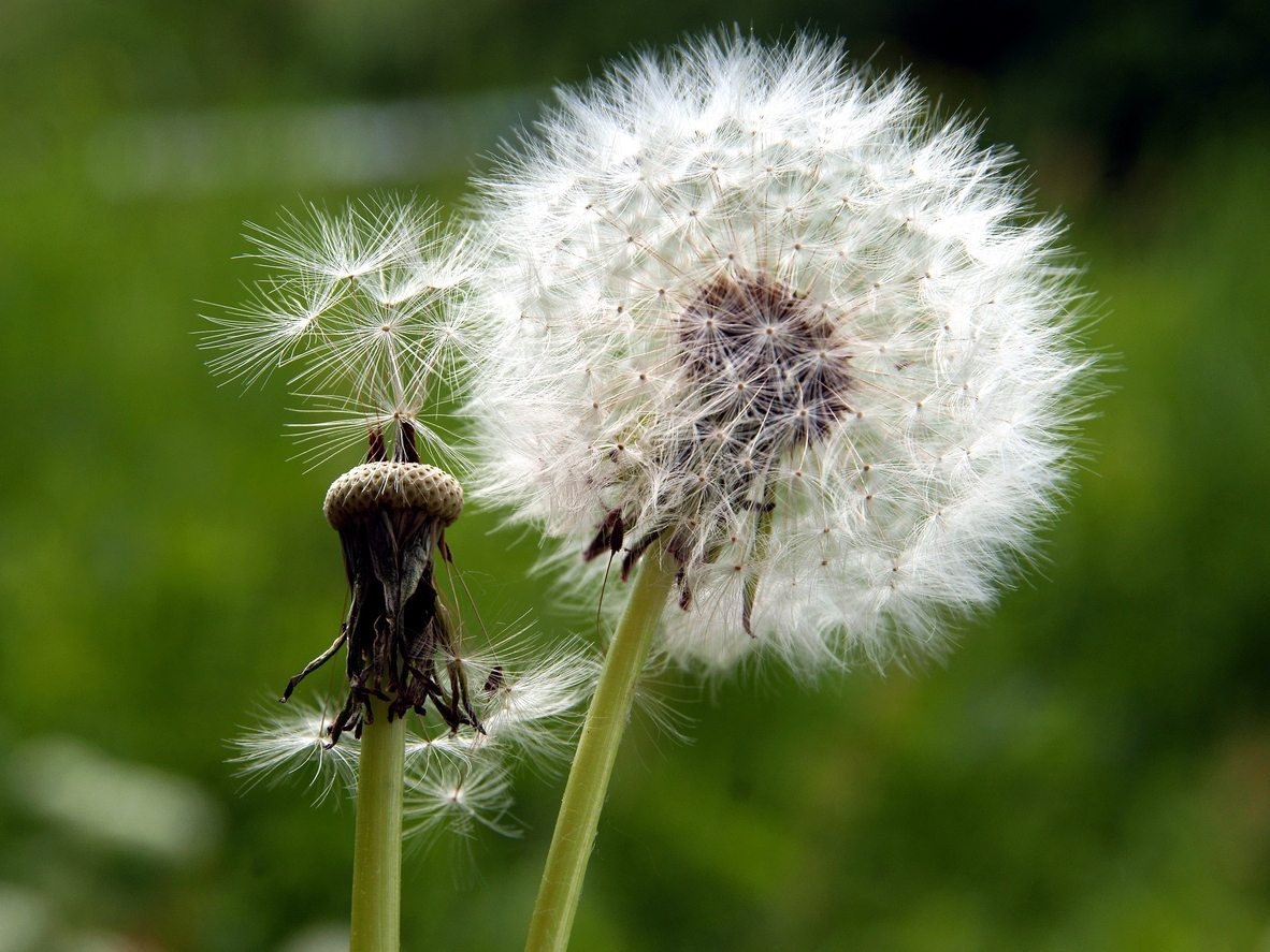 Not known Incorrect Statements About What Do Dandelion Seeds Symbolize